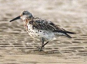 Great Knot 16.6Kb